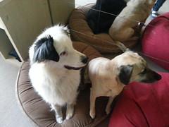 Shepo andPunchkin (Rayya The Vet) Tags: dog pet vet canine australianshepherd crossbreed whippetcross
