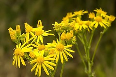 Arnika Blüten (thomaskappel) Tags: arnika blten