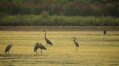 Herons at Walkill (Feathered Trail Photos) Tags: heron audubon mfcc walkill fabuleuse mynj