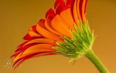 Orange Gerbera (-: : [himuGraphy] : :-) Tags: nikon d 100mm tokina gerbera orangeflower pro syed f28 atx orangegerbera himu d7100 tokina100mmf28atxprod exquisiteflowers