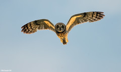 Suopöllö (mattisj) Tags: birds aves eläimet strigiformes fåglar linnut strigidae shortearedowl asioflammeus pöllöt suopöllö jorduggla pöllölinnut
