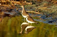 Chevalier guignette DSC08528 (cedric provost) Tags: france birds photos bretagne le cedric oiseaux provost finistere curnic guisseny cédric lecurnic