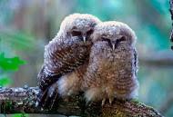 Anglų lietuvių žodynas. Žodis spotted owl reiškia dėmėtoji pelėda lietuviškai.