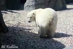 Polar Bear (heeygloria) Tags: travel canada tourism nature animals outdoors photography zoo winnipeg wildlife manitoba assiniboinepark assiniboineparkzoo