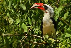 Von der Decken's Hornbill (Rainbirder) Tags: kenya samburu tockusdeckeni vonderdeckenshornbill rainbirder