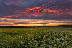Buttonwood Sunset (dhfore) Tags: nature landscape connecticut ct sunflowers griswold 2014 buttonwoodfarm sunflowersforwishes