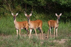 3 young whitetail deer. (rlbarn) Tags: doe deer buck whitetail