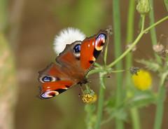 pa de dia (cincde82012) Tags: butterfly peacock catalonia io mariposa lepidopter garrotxa inachis papallona