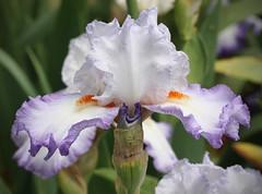 White & Purple Iris (I) (gtncats) Tags: iris flower nature closeup photographyforrecreation infinitexposure