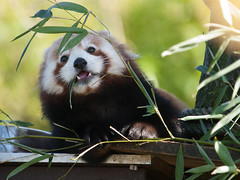Red Panda (wwarby) Tags: trip brown plant slr leaves animal mammal outdoors zoo wildlife olympus bamboo event redpanda digitalcamera e3 50200mm zuiko digitalslr captivity dayout broxbourne paradisewildlifepark zuikodigital olympuse3