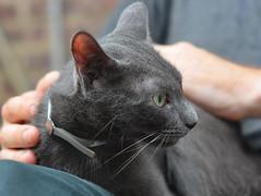 raina profile (eva101) Tags: brooklyn cat kitten happiness williamsburg muddypaws raina adoptionevent adoptsheltercat adoptdontshop northbrooklyncats