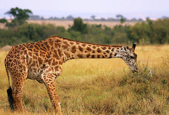 Sluuuurp! (Rainbirder) Tags: kenya ngc maasaimara giraffacamelopardalistippelskirchi maasaigiraffe rainbirder