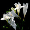 """Flower Study"" (helmet13) Tags: summer sunlight closeup flora blossom studies freesia selectivefocus aoi tepal peaceaward heartaward leicaxvario"