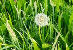 puste2 (noaxl.berlin) Tags: plant flower green 50mm sony pflanze gras f15 lwenzahn pusteblume blowball jupiter3 5015 russianlens nex5n