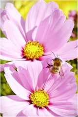 Twin Cosmos Flower and Honey Bee (Explored) (tanglemay) Tags: