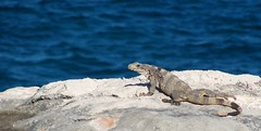 Rock Lizard (Adalberto Gonzaga) Tags: sea rock mexico lizard cancun lagarto isladelasmujeres