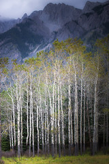 Mountain Scenery with Birches (memories-in-motion) Tags: mountain canada color colors forest canon landscape rockies photography iso800 bc trunk rockymountains birch f28 birches kanada bowvalley 14000sec ef100mmf28l 5dmarkiii100mm