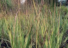 Molinia caerulea subsp. caerulea 'Variegata'