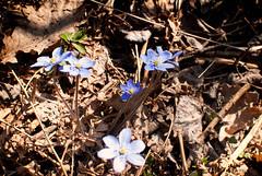 Blue Anemorte (Xerethra) Tags: flower nature 35mm geotagged spring nikon europa europe sweden natur skandinavien blomma sverige scandinavia maj vår järfälla 2013 görväln blåsippa stockholmslän nikond80 blueanemorte dikartorp järfällastockholmslänsverige