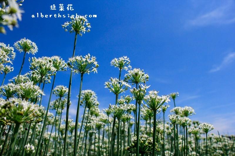 桃園大溪.韭月雪(九月韭菜花季私房景點之踏雪聞香)