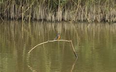 Common Kingfisher (tom_m132) Tags: england bird nature animals europe wildlife kingfisher british common ornithology wetland
