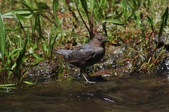 American Dipper, Cinclus mexicanus, Firehole Canyon, Yellowstone National Park, Photo by Wes (wesbird72) Tags: life park wild bird eye birds america fly flying nationalpark wings eyes wildlife tail birding flight wing beak feathers feather national yellowstonenationalpark aba birder refuge nationalwildliferefuge nwr northamericanbirds americandipper fireholecanyon cinclusmexicanus birdsofnorthamerica americanbirdingassociation photobywes abaarea mondaycampyellowstone