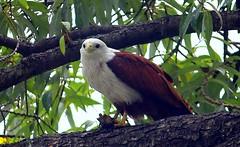DPP_0606-2.JPG (Avinash Kunigal) Tags: bird birds canon lens eagle pelican telephoto cormorant stork lalbagh 55250 1100d