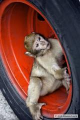 Young Barbary Macaque Playing in Tire(Gibraltar) (runintherain) Tags: wild animals canon monkey europe monkeys rockofgibraltar macaque magot monos barbary barbaryape barbarymacaque macacasylvanus apesden gibraltan upperrock canonxsi canon450dxsi runintherain gibraltarnaturereserve