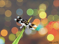 dragonfly (Sonja Parfitt) Tags: color dragonfly bokeh lagoon stanleypark