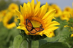 Sunflower and Monarch (pegase1972) Tags: québec quebec canada flower fleur qc tournesol sunflower butterfly monarch licensed published fotolia rf123 dreamstime 500px sold explore explored 123rf eyeem shutterstock shutter