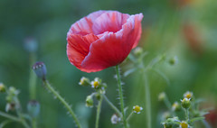 An Evening With Friends (Lala Lands) Tags: dof bokeh summerevening eveninglight withfriends nikond300s nikkor28300mmf35 redpoppywithwhiteedges heirloomshirleypoppy summerbloomingpoppy alongagardenedge