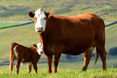 Little Dave :) (MightySnail) Tags: summer brown cute dave cow cattle cows calf