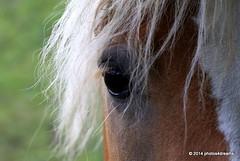 the eye of the beast (photos4dreams) Tags: horse mountain mountains austria österreich berge alm alpen pferde alp pferd haflinger kleinwalsertal photos4dreams photos4dreamz p4d