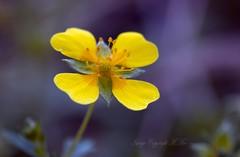 flora. (nondesigner59) Tags: flower nature yellow closeup flora vibrant potentillaerecta tormentil rosefamily eos50d nondesigner nd59 copyrightmmee