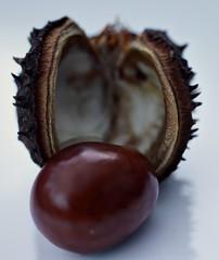 Conker (Crisp-13) Tags: horse shell chestnut conker aesculus hippocastanum