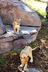 Lion Cubs - Ken and Dixie - Ken taking a second look, to steep (Pix.by.PegiSue>Thx over 4M+ views! Click on Albums) Tags: california africa park wild cats baby cute nature animal animals cat canon zoo cub feline chat flickr sandiego african wildlife lion ken safari bigcat gato wap lions felinos cubs endangered simba wildanimalpark sandiegozoo len lioness dixie animalplanet cutecat exoticcats bigcats izu chatte escondido nationalgeographic nonprofit flin babyanimals sdzoo caturday  oshana flickrbigcats flickrbigcat sandiegozoosafaripark instacute sdzsafaripark catsofinstagram californiababyanimals pixbypegisue zooglobal losgrandesfelinos wwwflickrcomphotospixbypegisue