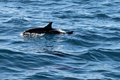 Spinner Dolphin Near the N Pali Coast - Kaua'i (Ernie Orr) Tags: kauai hawaii npalicoast na palinapalidolphindolphinsspinner dolphinspinner dolphins bobrussell russell rmrussell