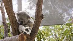 Koala bear / Paradise Country / Gold Coast / Australia (haphopper) Tags: sleeping tree nature animal zoo australia koala qld queensland outback aussie themepark goldcoast koalabear ool paradisecountry