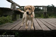 IMG_5078.jpg (Hans de Cortie) Tags: labrador nederland labradorretriever noordbrabant fionn wintelre