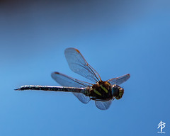 Dragonfly in flight (fearghal breathnach) Tags: nature closeup canon insect photography eos is inflight wings dragonfly details flight 5d usm inmotion 70200mm 200mm frozenmoment ef70200mm eos5d f28l fearghalbreathnach httpswwwfacebookcomfergphotos
