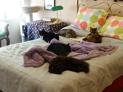 Five Kitties on my Bed (Philosopher Queen) Tags: cats fun cozy chats bed gatos kitties multiplecats fivekitties
