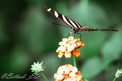 _DSC4984-2 (Elisabetta - Bettadi) Tags: natura animali lontra farfalle pellicani oasisalessio