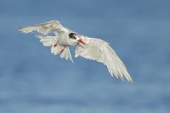 Regresando,  Gaviotn sudamericano (Sterna hirundinacea) (Egon Wolf) Tags: chile bird aves ave