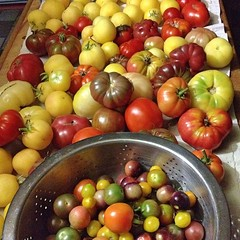 "No matter the weather outside, it looks like Heirloom Tomato Season in our farmhouse kitchen!  #heirloom #tomato #garden • <a style=""font-size:0.8em;"" href=""http://www.flickr.com/photos/54958436@N05/15225576846/"" target=""_blank"">View on Flickr</a>"