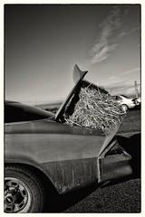 Hay bale in the trunk (La Chachalaca Fotografa) Tags: monochrome car oregon lumix blackwhite parkinglot straw camaro panasonic trunk hay bale 14mm gx1