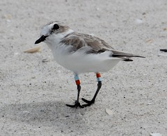 2014 09 27_5409_snowy plover (nbc_2011) Tags: bird nature florida animalplanet plover planetearth shorebird snowyplover northwestflorida