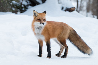 Red Fox Img_6061