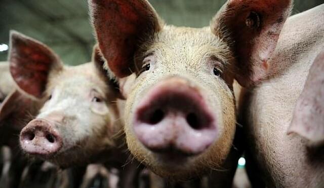 ВСамарской области найден очаг африканской чумы свиней