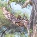 Leopard relaxing in a baobab tree