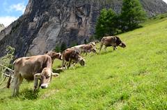 DSC_4890 (marcus.liefeld) Tags: italien alpen dolomiten südtirol gröden langkofel sassolungo kuh